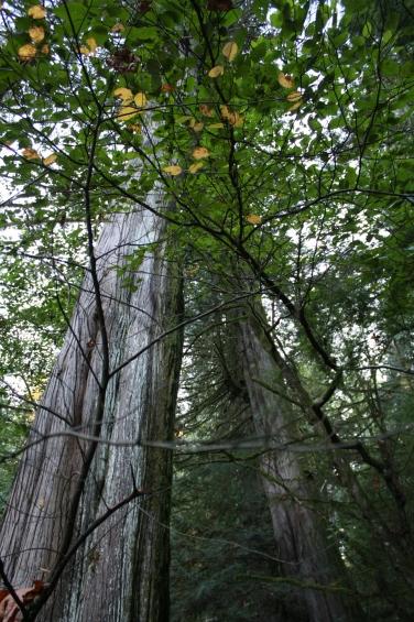 Trees in Elk Falls