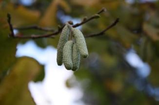 Hazel Nut tree